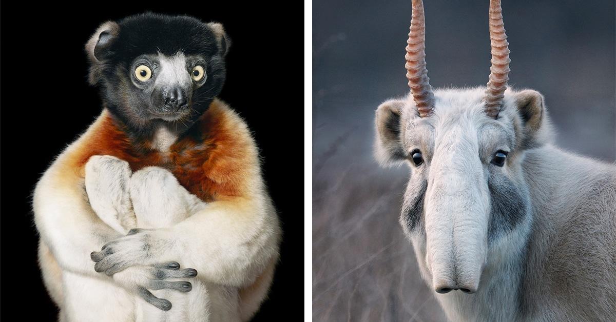 Fotógrafo passa anos capturando retratos pungentes de animais à beira da extinção