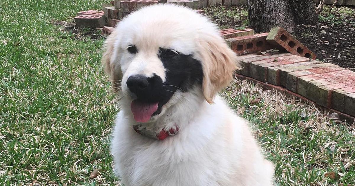 Este Golden Retriever nasceu com uma mutação genética e tem 133 mil seguidores no Instagram