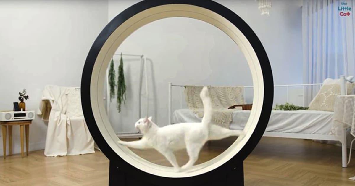 Esteira de gato de alta tecnologia é projetada para fazer gatinhos preguiçosos se exercitarem