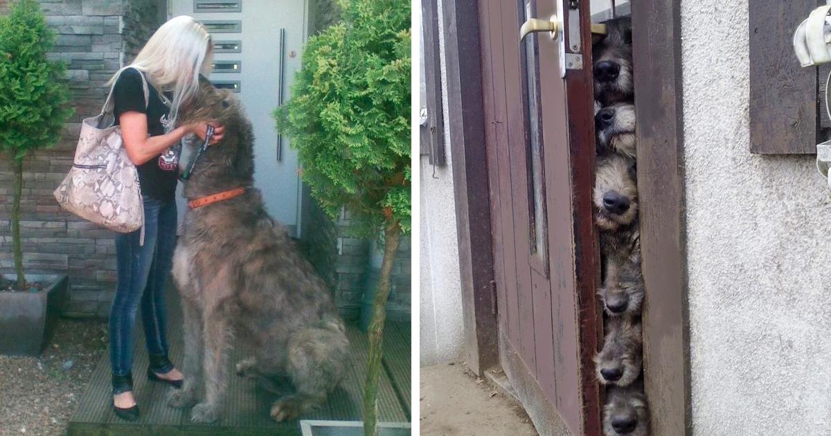 As pessoas estão postando fotos hilárias de seus cães de caça irlandeses, e é muito louco como são grandes (50 fotos)