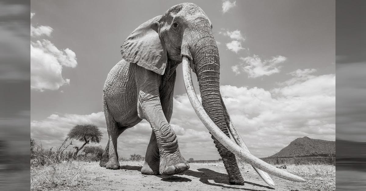 """Fotógrafo da vida selvagem captura as últimas fotos da """"rainha dos elefantes"""""""