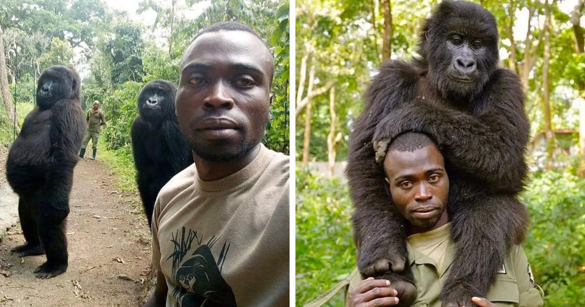 Gorilas posam para selfies com guardas florestais no Congo, e as imagens estão comovendo o mundo
