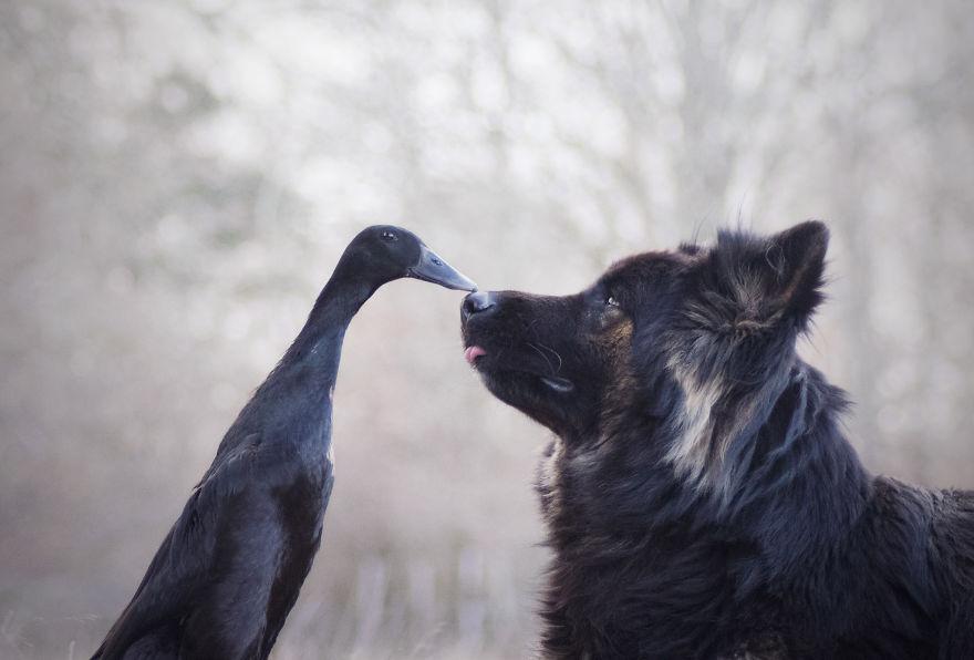Fotógrafa amadora captura a inesperada amizade entre seu cão e seu pato