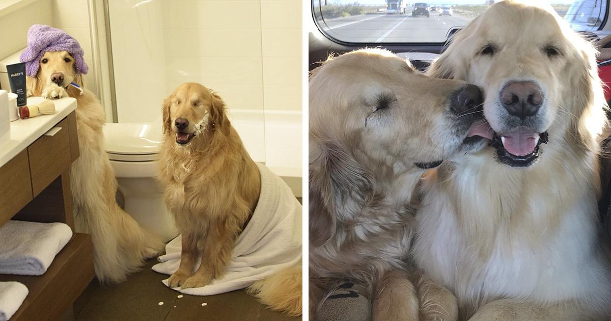 Este Golden Retriever cego e seu melhor amigo cachorro-guia estão aquecendo os corações das pessoas