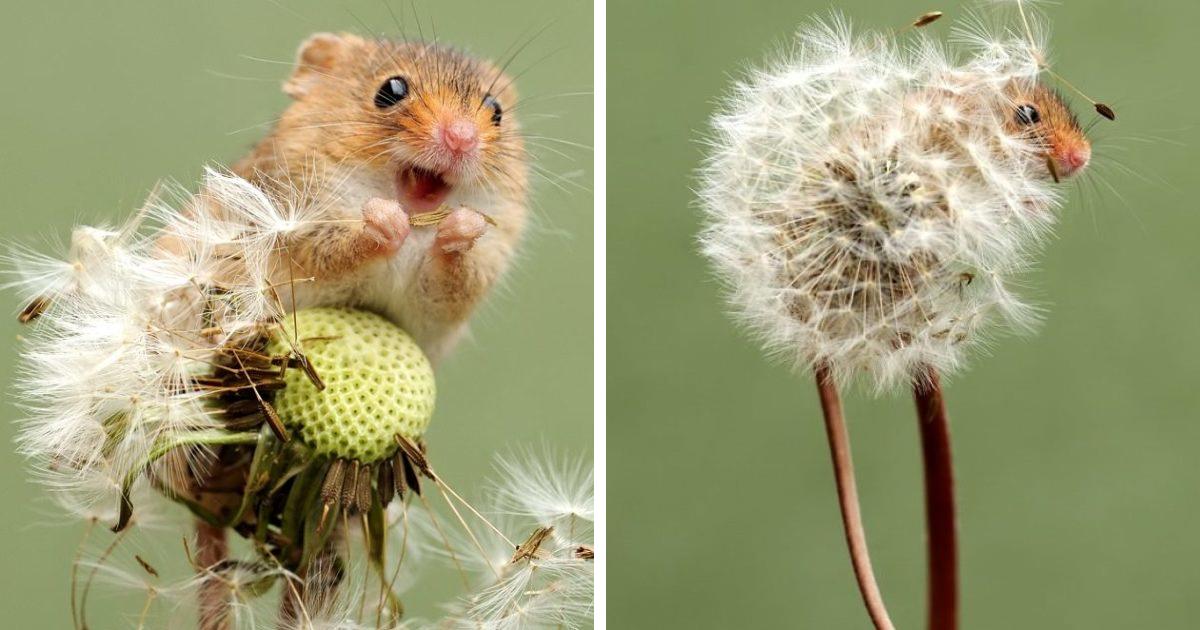 35 fotos adoráveis de ratos de colheita em suas vidas minúsculas