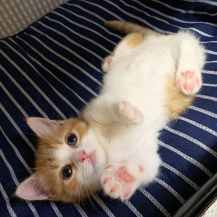 Conheça Munchkin, um adorável gatinho que dorme como um ser humano