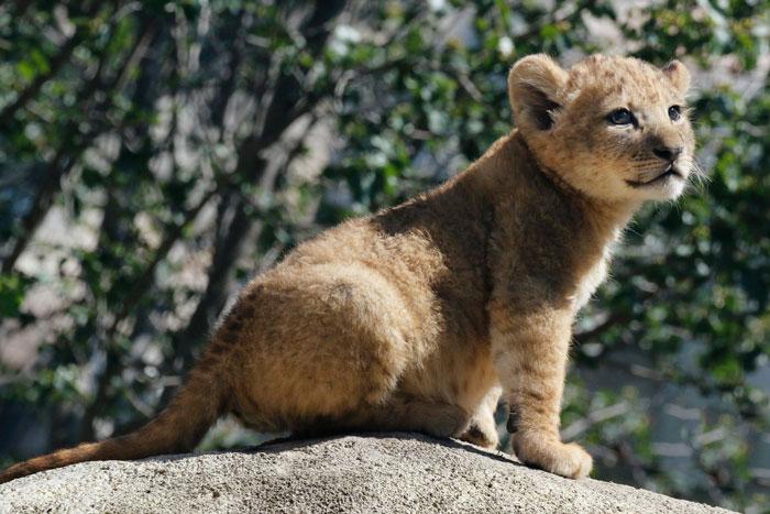 Conheça o filhote Bahati, o adorável modelo do Simba no remake do Rei Leão