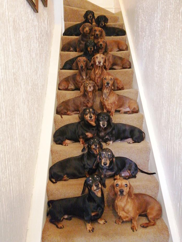 Este adolescente tirou uma foto perfeita dos seus 16 dachshunds depois de ser desafiado pelo amigo