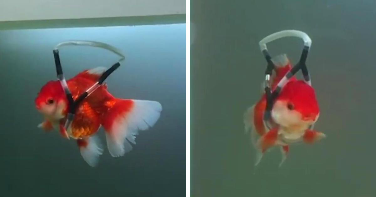 Ele criou um dispositivo de flutuação para salvar seu amado peixinho de morrer