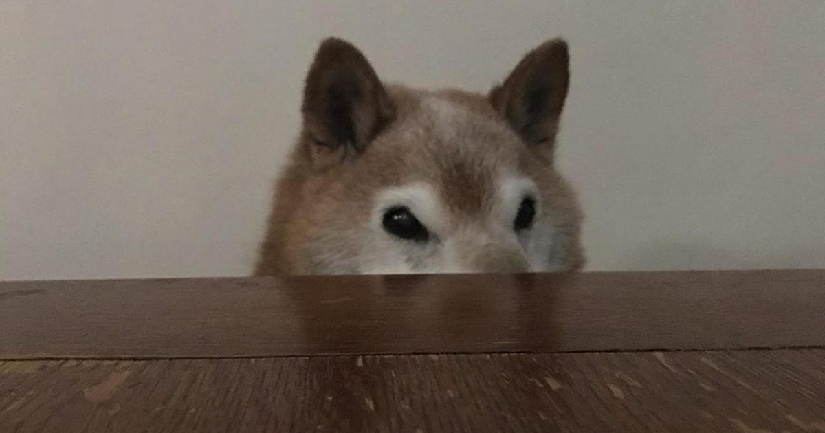 As pessoas estão apaixonadas por este Shiba Inu que parece estar sempre de mal-humor