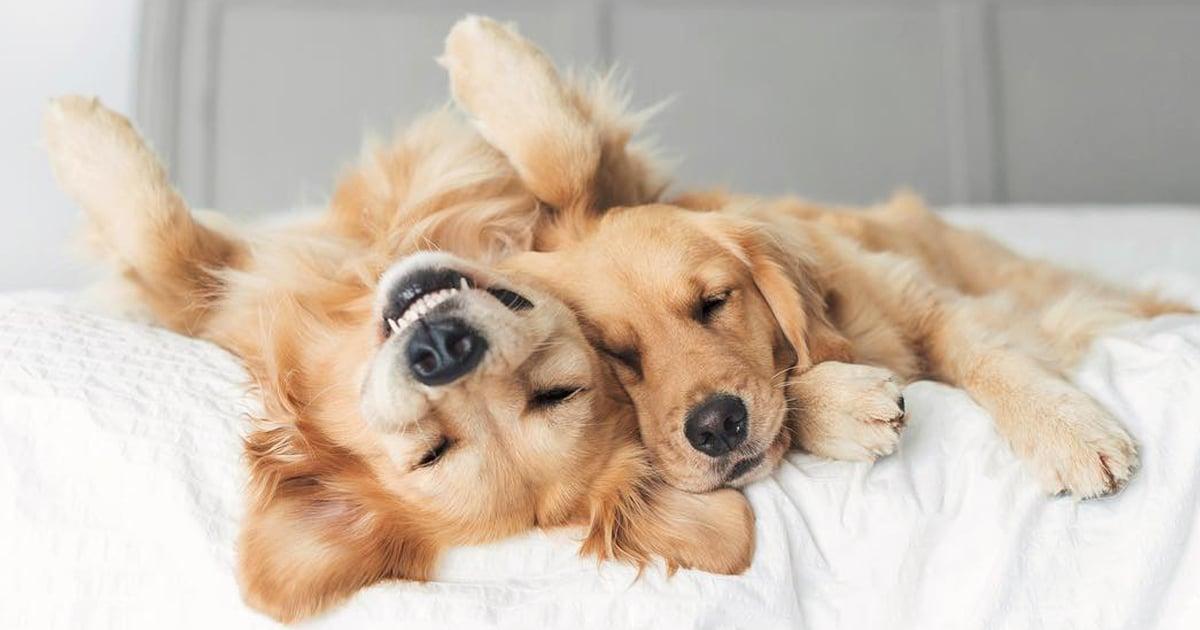 Fotos emocionantes de dois adoráveis golden retrievers que são melhores amigos inseparáveis