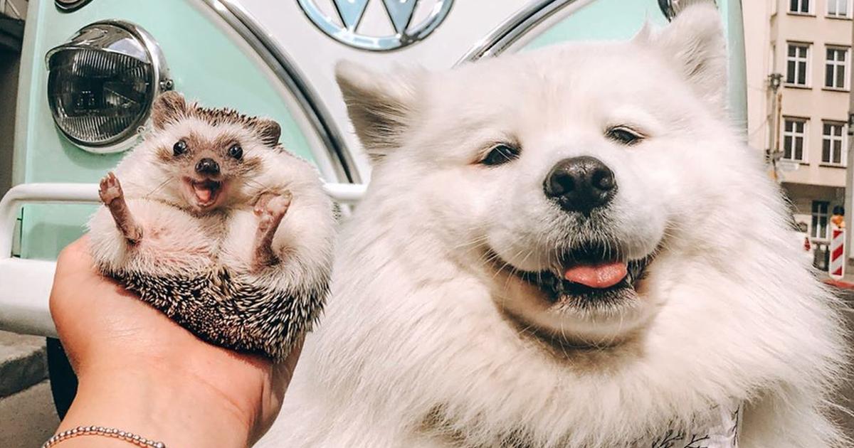 Divirta-se com 40 imagens de Herbee, o adorável porco-espinho que tem 1,5 milhões de seguidores no Instagram