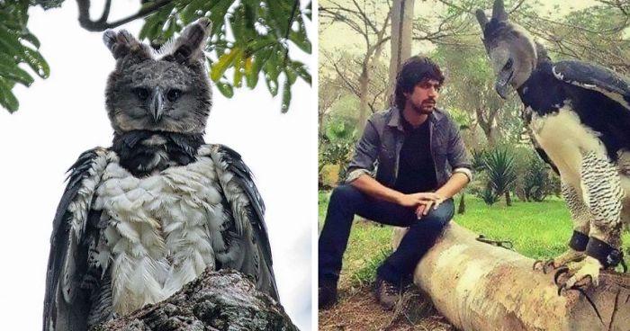 Conheça a Harpia, um pássaro tão grande que algumas pessoas pensam que é alguém fantasiado