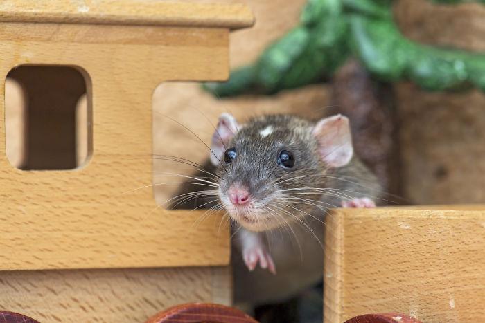 Os cientistas ensinaram aos ratos como brincar de esconde-esconde e descobriram que eles realmente gostaram