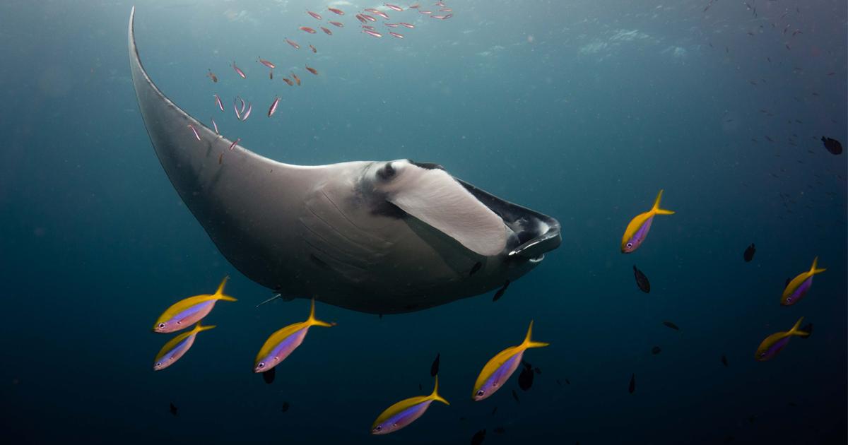 Mergulhador tira 21 fotos impressionantes de uma raia gigante