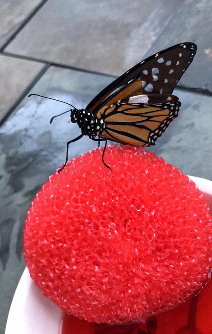 Zoológico pede ajuda para reparar as asas de uma borboleta com um transplante