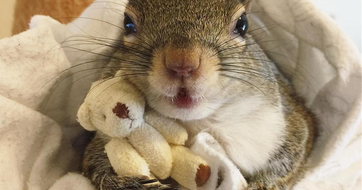 Conheça Jill, um esquilo adotado que não consegue dormir sem seu ursinho de pelúcia