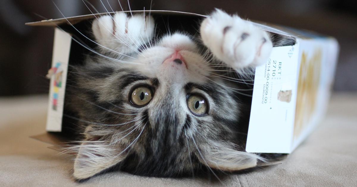 Pesquisa Mostra Que Caixas De Papelão Deixam Gatos Menos Estressados
