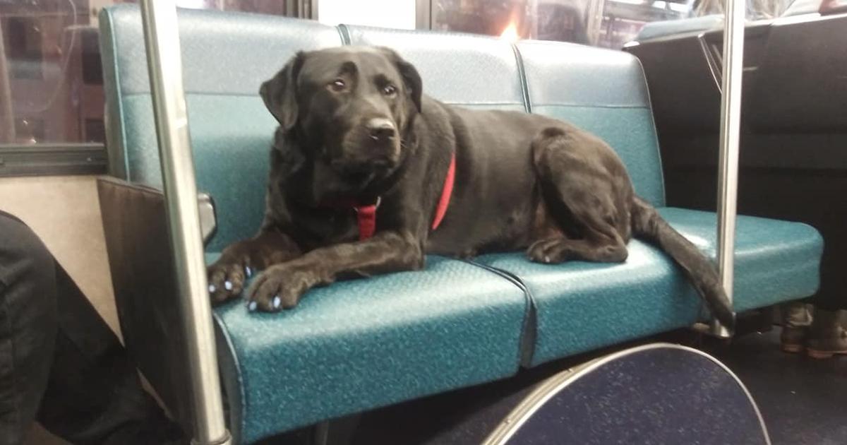 Esta Cadela Muito Independente Sabe Como Pegar O Ônibus Para O Parque E Faz Isso Todos Os Dias
