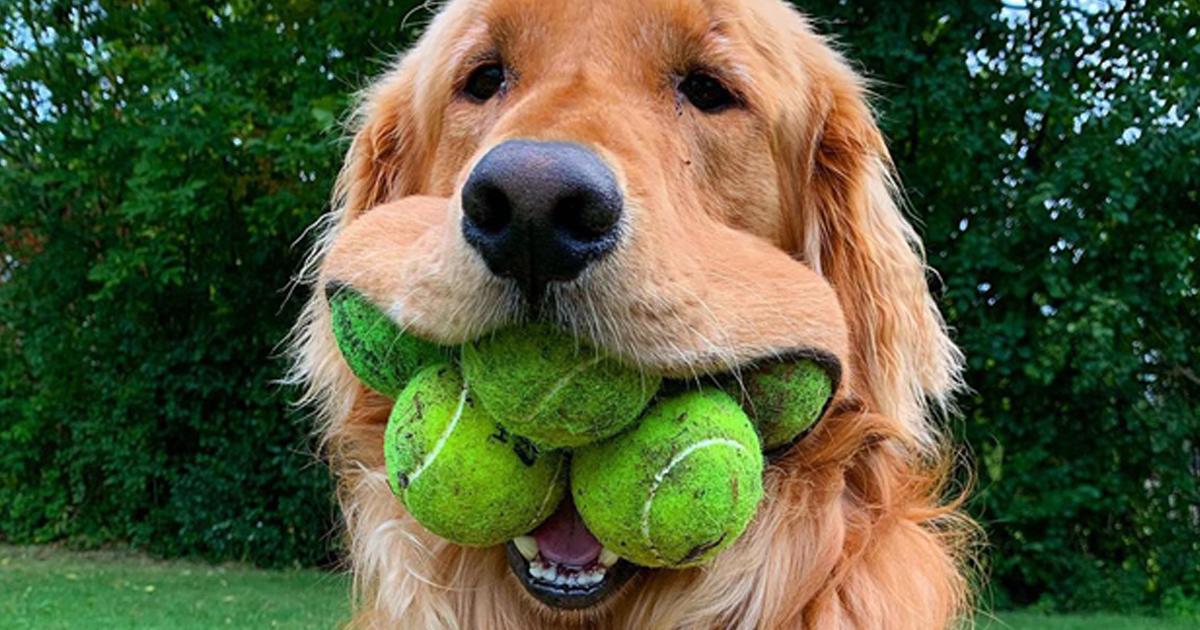 Conheça Finley, Um Cão Obcecado Com Bolas De Tênis E Que Acabou De Bater O Recorde Mundial
