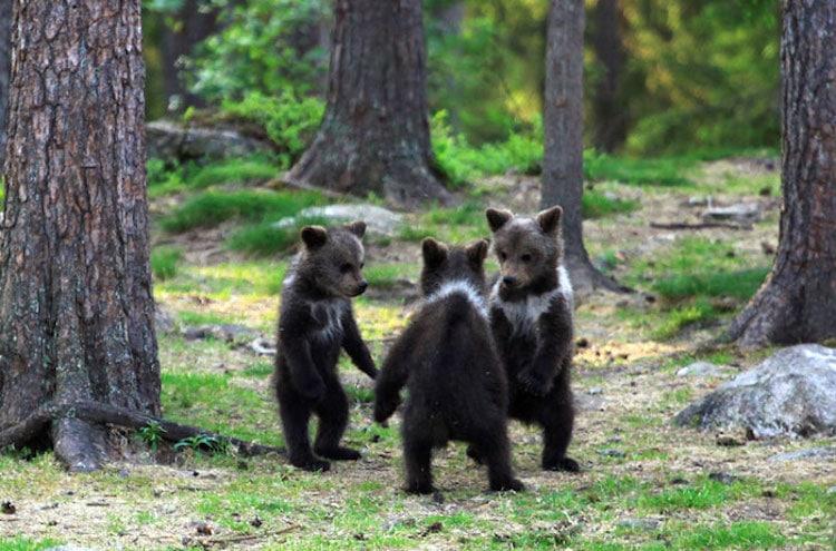 """Fotógrafo Captura 3 Filhotes De Urso """"Dançando"""" E Se Divertindo Na Floresta"""