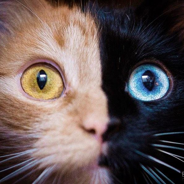 """Conheça Quimera, A Gata De """"Duas Caras"""" Que Está Chamando A Atenção"""
