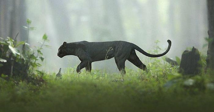 19 Fotografias Impressionantes Desta Pantera Negra Rara Andando Pelas Selvas Da Índia