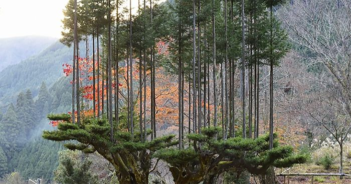 Essa Antiga Técnica Japonesa Permite Que As Pessoas Produzam Madeira Sem Ter Que Cortar Árvores