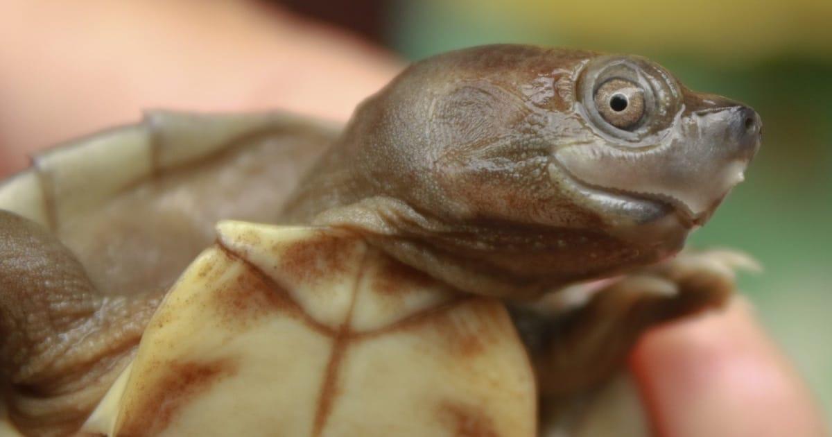 Tartarugas Quase Extintas Estão Voltando Graças Aos Pesquisadores