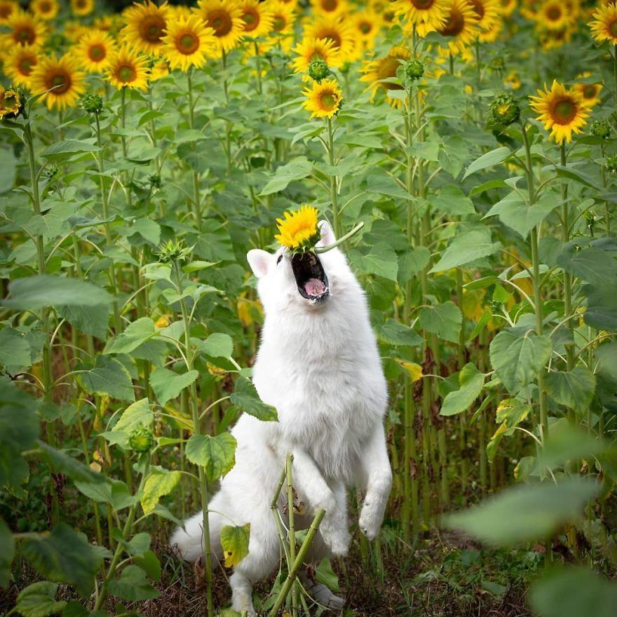 Esta Sessão De Fotos Com 3 Cães E Girassóis Dá Errado Quando Descobrem Como As Flores São Saborosas