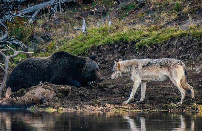 Fotógrafo Captura Momento Único De Um Encontro Entre Urso E Lobo
