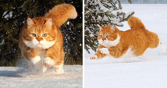 Conheça Ginger, O Gato Que Adora Neve