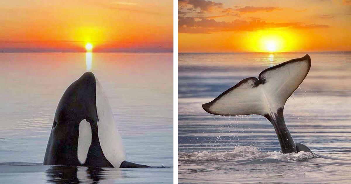 8 Escapismos Com Impressionantes Orcas Ao Pôr Do Sol